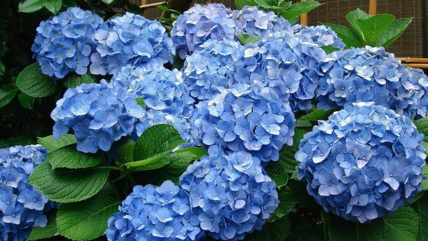Sobre las plantas acidófilas como Gardenia, Hortensia …