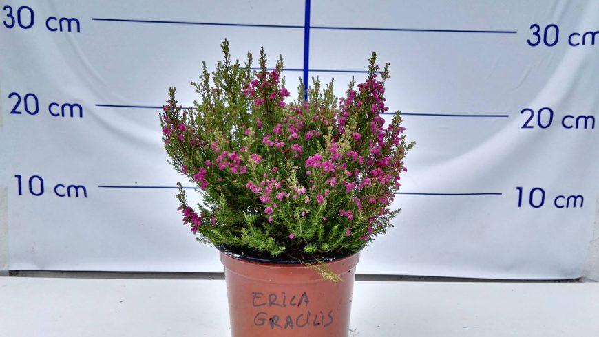 Producto destacado : ERICA GRACILIS
