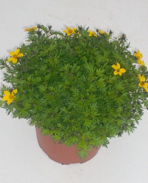 Bidens ferulifolia. En flor