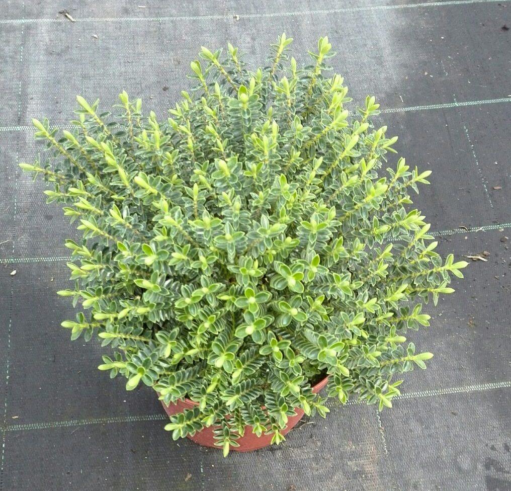 Hebe buxifolia victorplant s l for Hebe arbusto