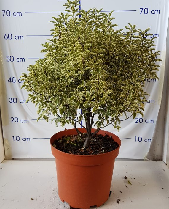 PITTOSPORUM_VARIEG_7,5L