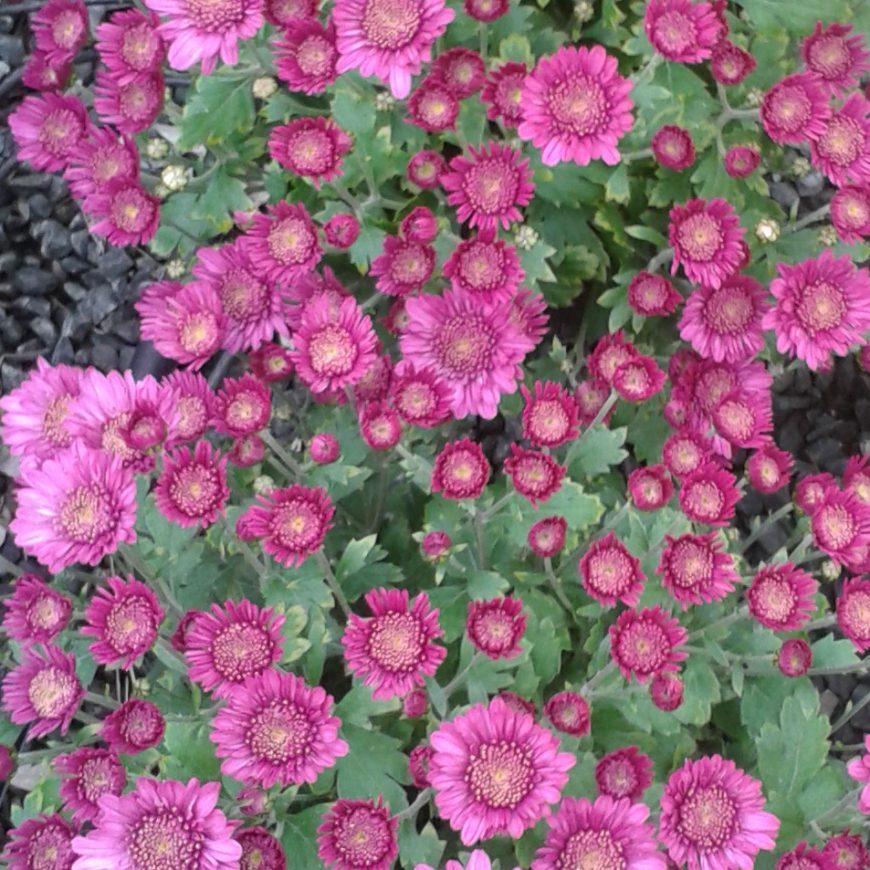 Producto destacado: Crisantemo